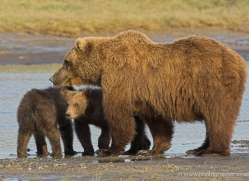 brown-bear-alaska-1353-copyright-photographers-on-safari-com