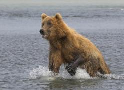 brown-bear-alaska-1355-copyright-photographers-on-safari-com