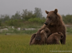 brown-bear-alaska-1358-copyright-photographers-on-safari-com