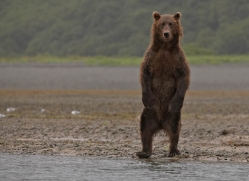 brown-bear-alaska-1360-copyright-photographers-on-safari-com