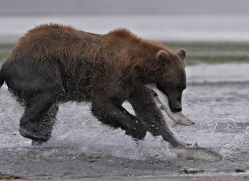 brown-bear-alaska-1361-copyright-photographers-on-safari-com