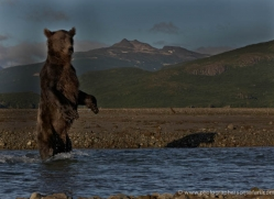 brown-bear-alaska-1364-copyright-photographers-on-safari-com
