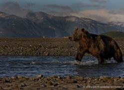 brown-bear-alaska-1365-copyright-photographers-on-safari-com