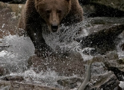 brown-bear-alaska-1367-copyright-photographers-on-safari-com