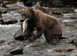 brown-bear-alaska-1368-copyright-photographers-on-safari-com