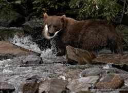 brown-bear-alaska-1369-copyright-photographers-on-safari-com
