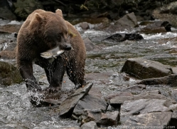 brown-bear-alaska-1370-copyright-photographers-on-safari-com