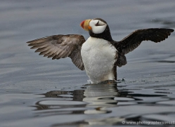 horned-puffin-alaska-1245-copyright-photographers-on-safari-com