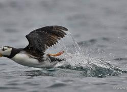 horned-puffin-alaska-1246-copyright-photographers-on-safari-com
