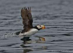 horned-puffin-alaska-1248-copyright-photographers-on-safari-com
