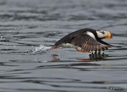 horned-puffin-alaska-1249-copyright-photographers-on-safari-com