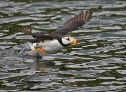 horned-puffin-alaska-1251-copyright-photographers-on-safari-com