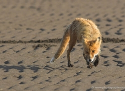 red-fox-alaska-1254-copyright-photographers-on-safari-com