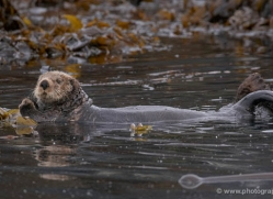 sea-otter-alaska-1229-copyright-photographers-on-safari-com