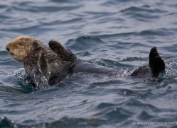 sea-otter-alaska-1231-copyright-photographers-on-safari-com