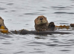 sea-otter-alaska-1233-copyright-photographers-on-safari-com