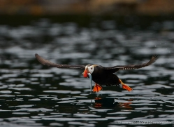 tufted-puffin-alaska-1240-copyright-photographers-on-safari-com
