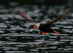 tufted-puffin-alaska-1241-copyright-photographers-on-safari-com