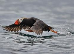 tufted-puffin-alaska-1243-copyright-photographers-on-safari-com