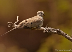 dove-2751-copyright-photographers-on-safari-com