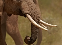 elephant-2742-copyright-photographers-on-safari-com