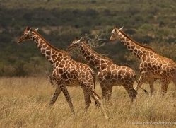 giraffe-2736-copyright-photographers-on-safari-com