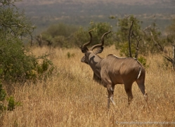 greater-kudu-2734-copyright-photographers-on-safari-com