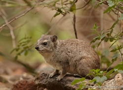 hyrax-2831-copyright-photographers-on-safari-com