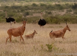 jacksons-hartebeest-2745-copyright-photographers-on-safari-com