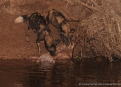 wild-dog-wild-dogs-2752-copyright-photographers-on-safari-com