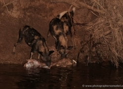 wild-dog-wild-dogs-2753-copyright-photographers-on-safari-com