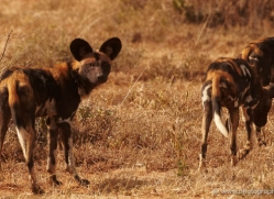 wild-dog-wild-dogs-2759-copyright-photographers-on-safari-com