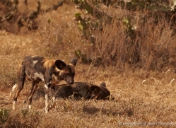 wild-dog-wild-dogs-2762-copyright-photographers-on-safari-com