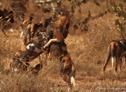 wild-dog-wild-dogs-2765-copyright-photographers-on-safari-com