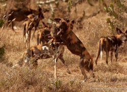 wild-dog-wild-dogs-2766-copyright-photographers-on-safari-com