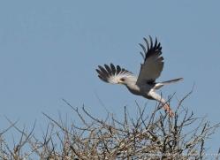 black-shouldered-kite-2747-copyright-photographers-on-safari-com