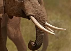 elephant-2742-copyright-photographers-on-safari-com