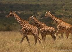 giraffe-2736-copyright-photographers-on-safari-com