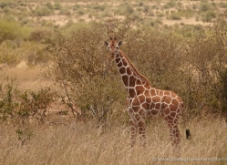 giraffe-2737-copyright-photographers-on-safari-com