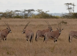 oryx-2744-copyright-photographers-on-safari-com