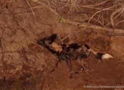 wild-dog-wild-dogs-2754-copyright-photographers-on-safari-com