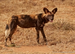 wild-dog-wild-dogs-2757-copyright-photographers-on-safari-com