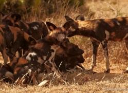 wild-dog-wild-dogs-2758-copyright-photographers-on-safari-com