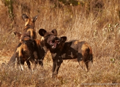 wild-dog-wild-dogs-2760-copyright-photographers-on-safari-com