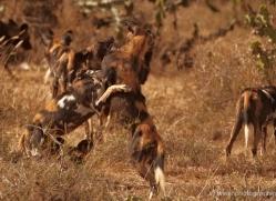 wild-dog-wild-dogs-2765-copyright-photographers-on-safari-com