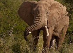 elephant-2741-copyright-photographers-on-safari-com