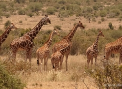 giraffe-2739-copyright-photographers-on-safari-com