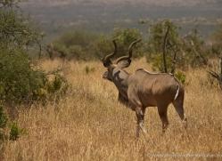 greater-kudu-2734-copyright-photographers-on-safari-com