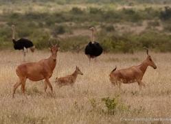 jacksons-hartebeest-2745-copyright-photographers-on-safari-com
