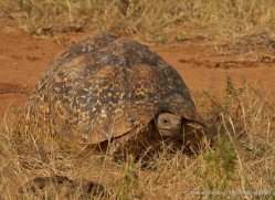 leopard-tortoise-2738-copyright-photographers-on-safari-com
